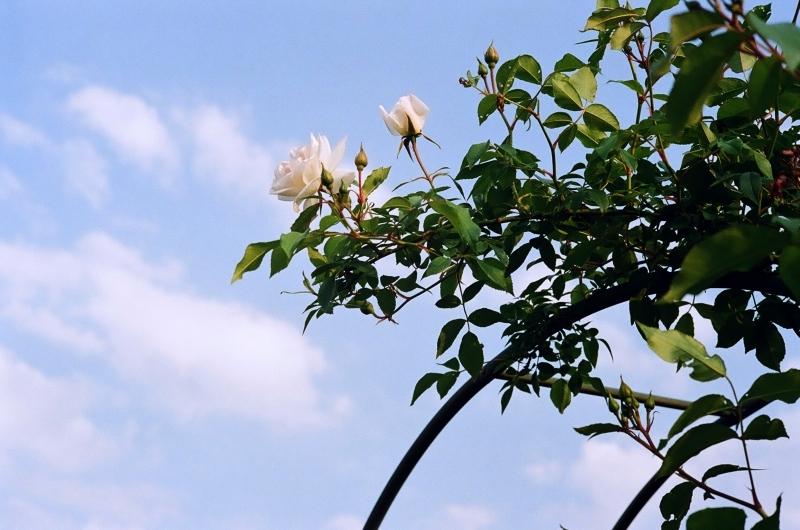 白いバラ・アーチ