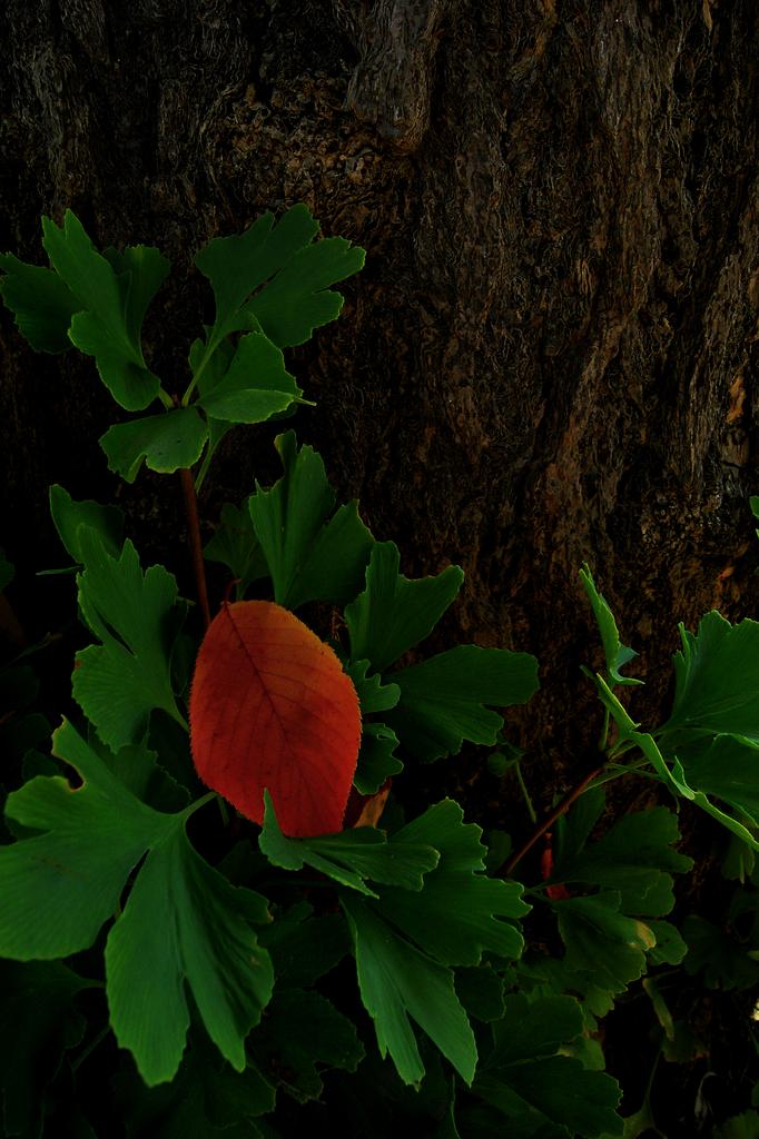 赤い葉・緑の葉