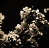 Sakura - another side