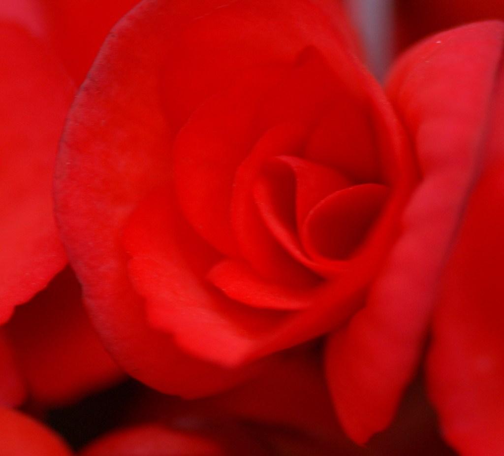 燃えよ「赤きバラ」