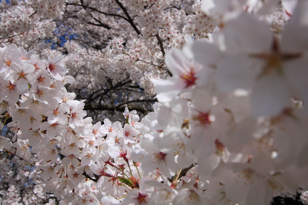 平凡ですが桜その3