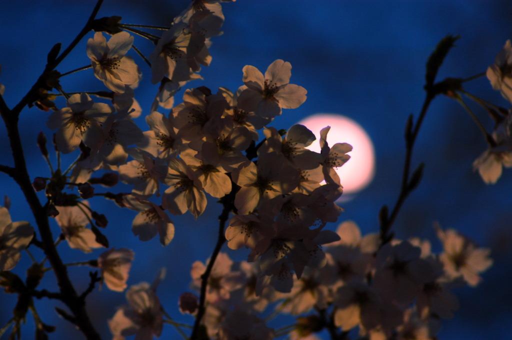 桜まつり 03