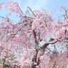 幸田枝垂桜まつり