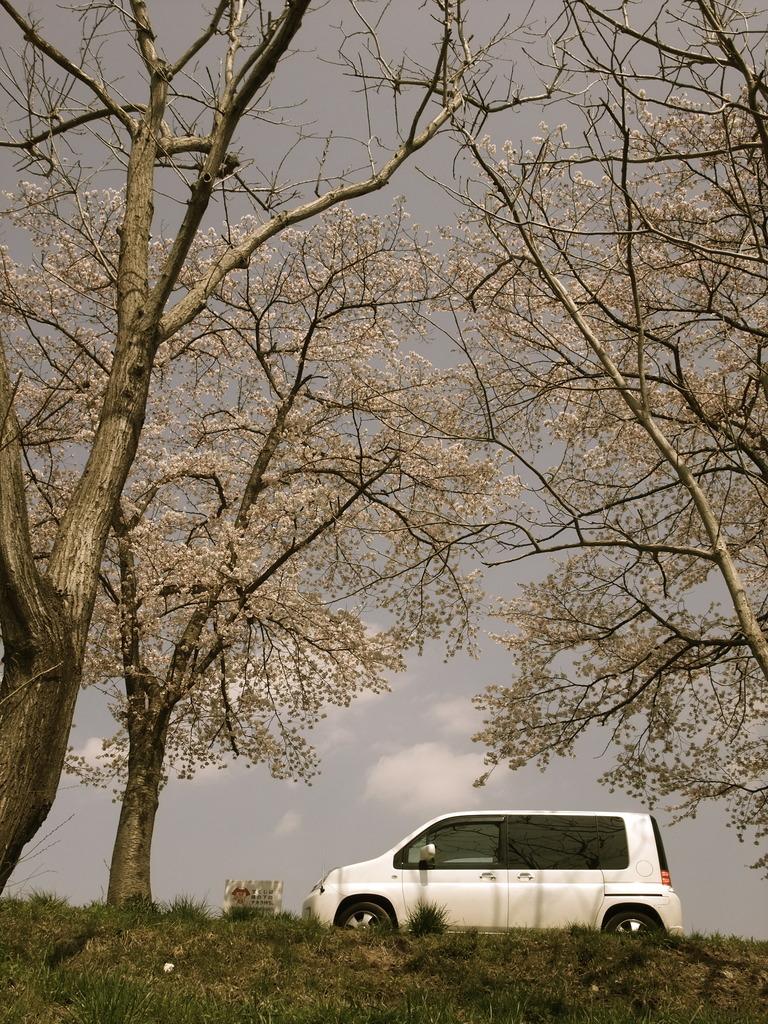 桜の木の下のくるま