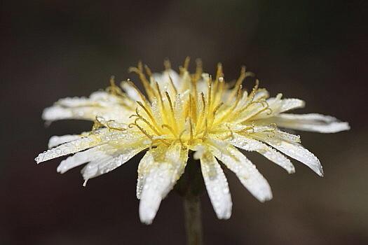 白花たんぽぽとしずく