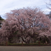 枝垂桜 六義園 2009.03.29