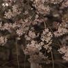 六義園 枝垂桜