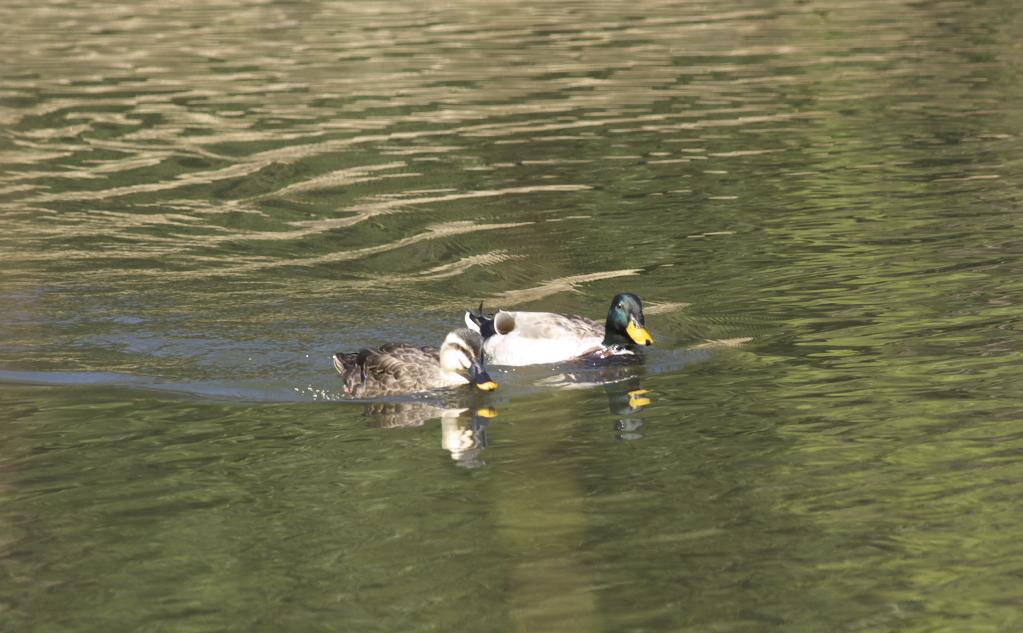 新宿御苑2009(春) 鴨?