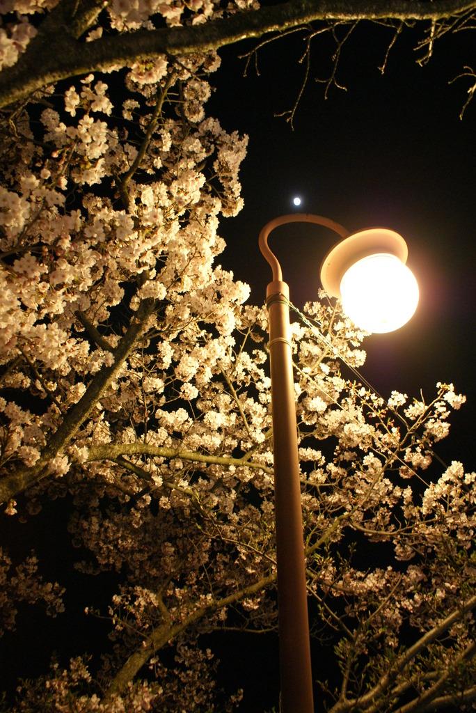 尾道 千光寺 夜桜