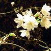 提灯ところの桜