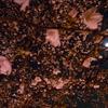 桜の樹の下はきれー