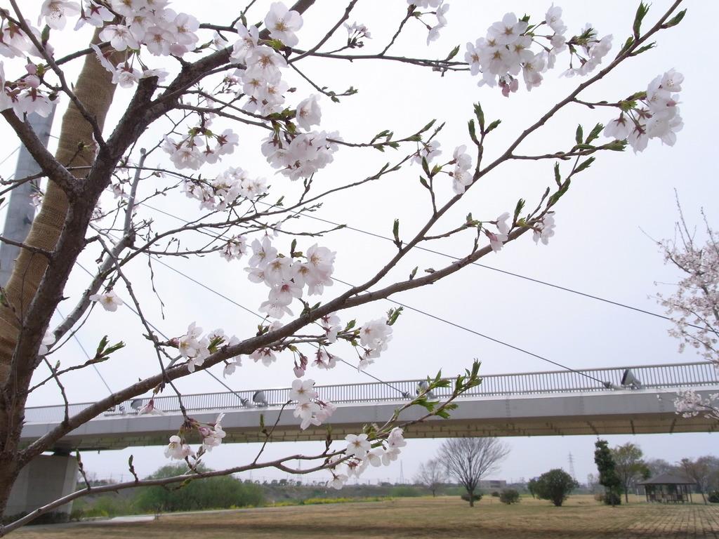 うぬき橋とさくら