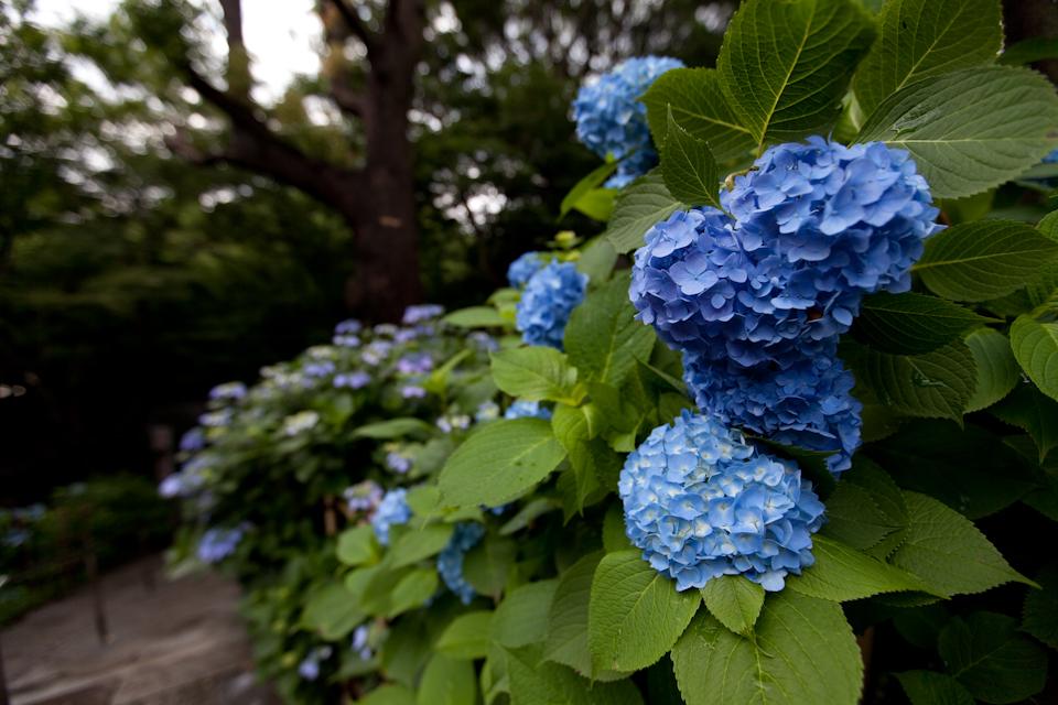 紫陽花 June/2009 #07