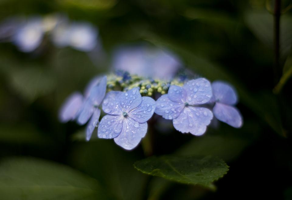 紫陽花 June/2009 #03