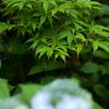 紫陽花 May/2009 - renew