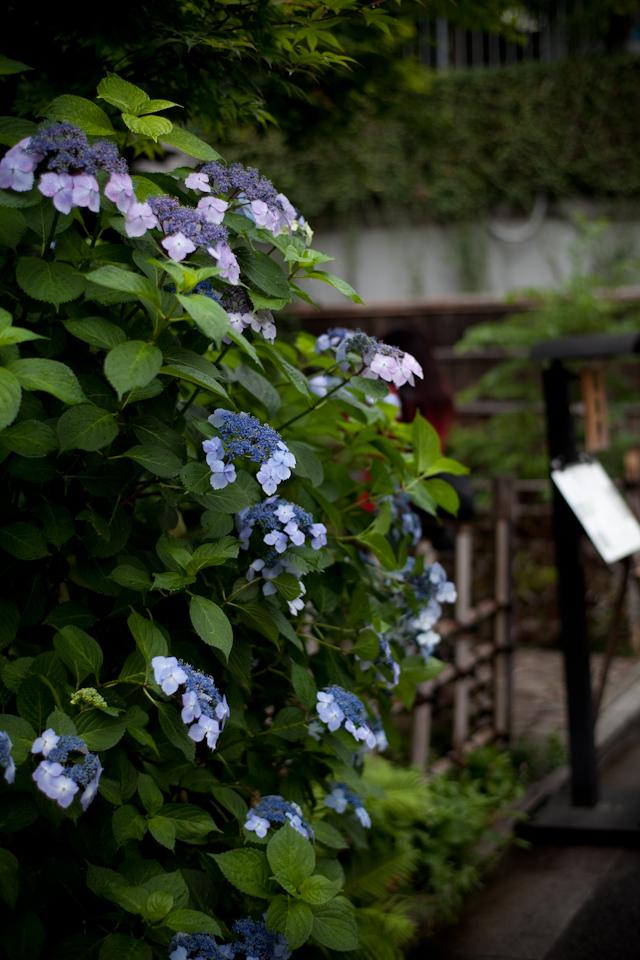 紫陽花 May/2009