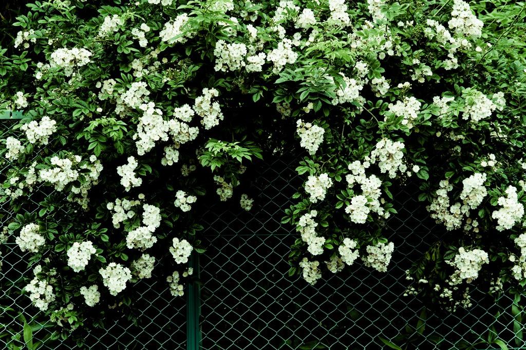 フェンスに咲く-2515