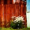 トタンに花-愛の花は朽ちて行く所にも咲いてくれる1305