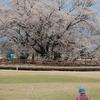 絵描きさんと桜の木