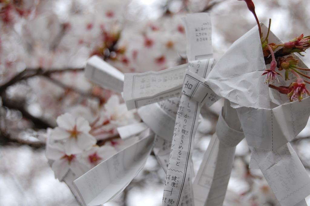 おみくじと桜