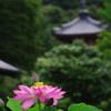 蓮の花と三重塔