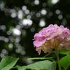 紫陽花COSMOS