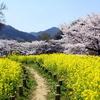 奈良明日香村 桜と菜の花