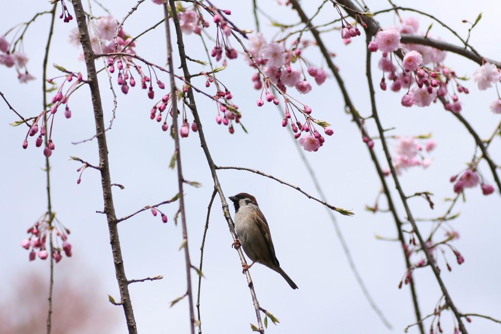 桜にスズメ
