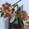 八重桜10時45分