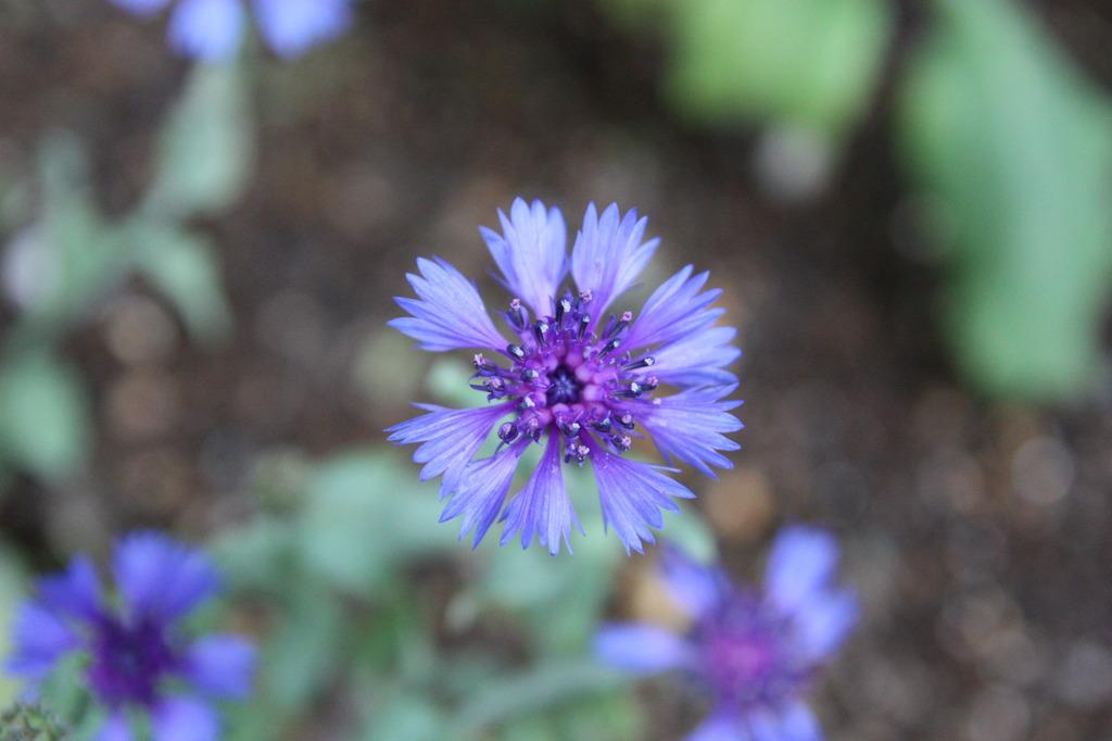 熱帯館の青い花