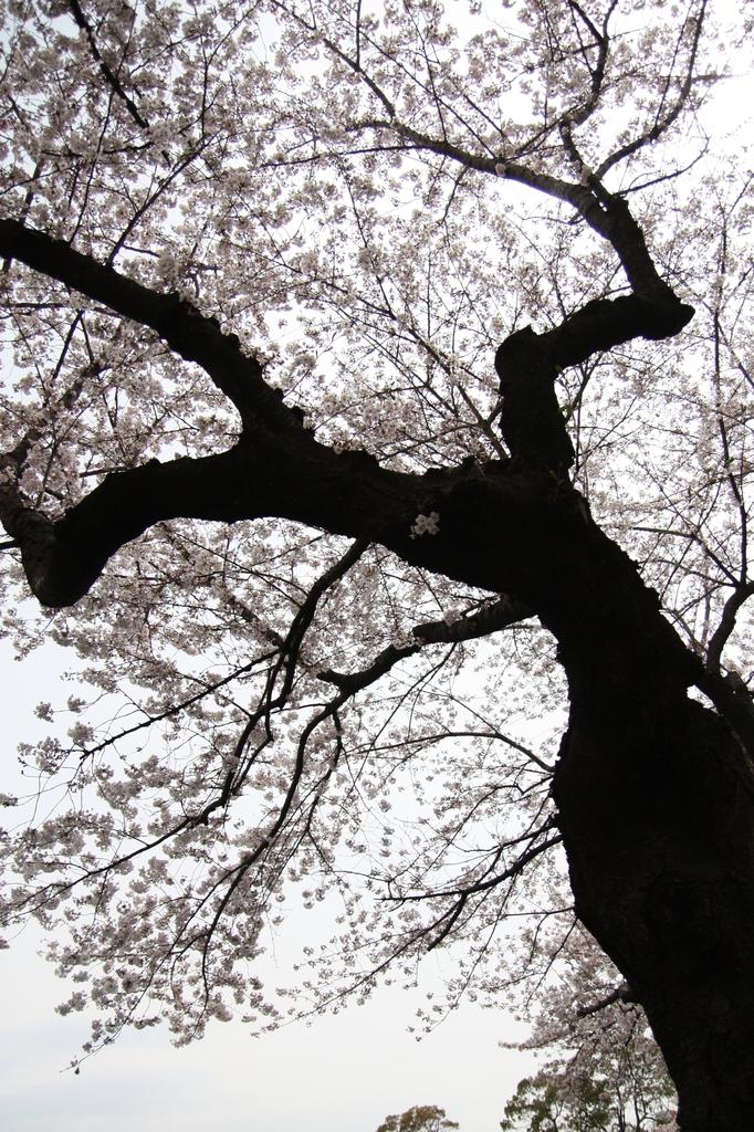 桜の枝っぷり