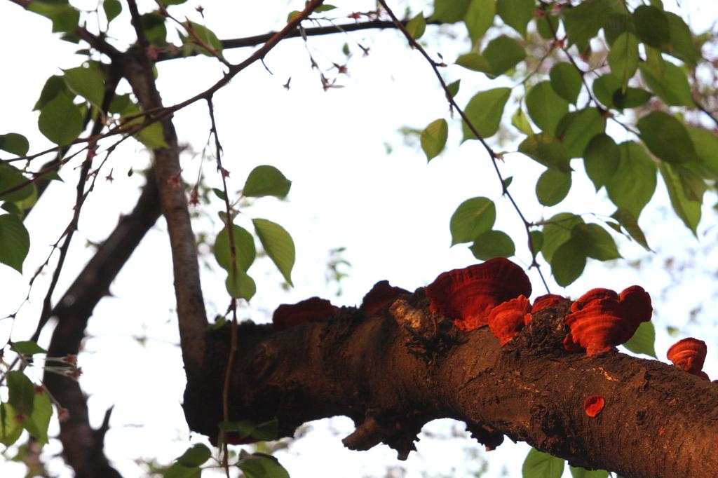 桜に生えたオレンジ色のキノコ類
