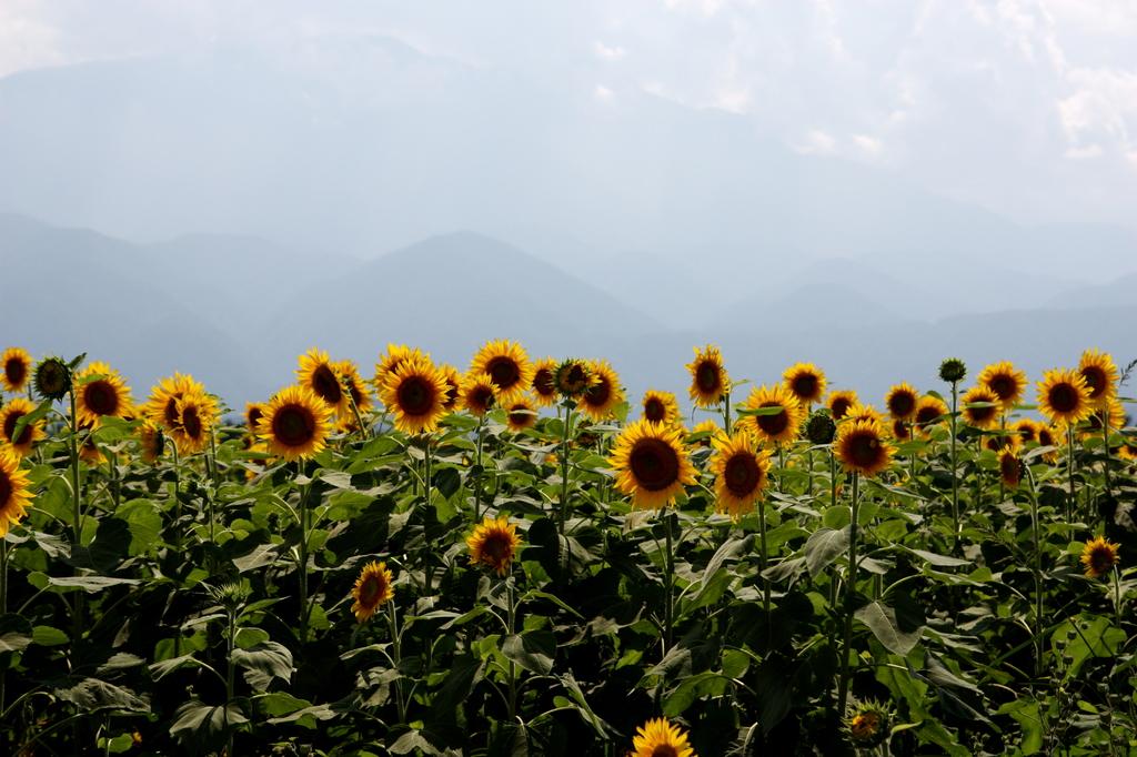 山をバックに向日葵ぞろぞろ