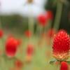 イチゴ風の花
