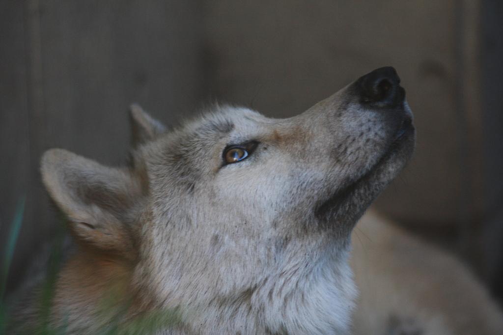 旭山 オオカミ