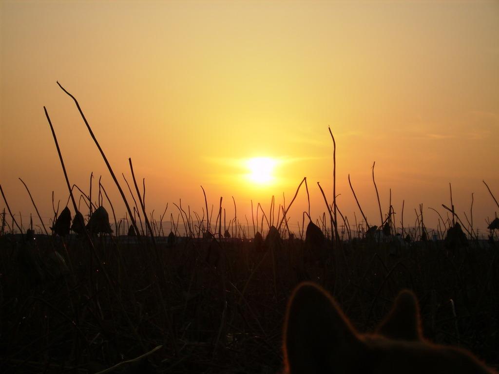 れんこん畑の夕日