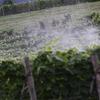 富良野にて_ワインぶどう園