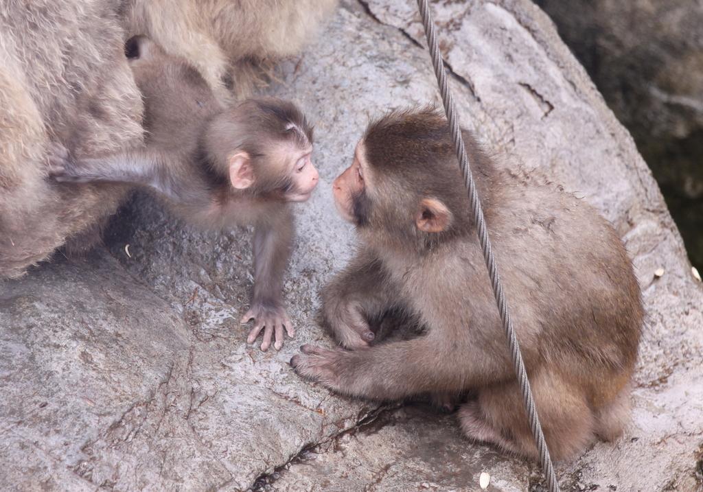 旭山動物園にて_ニホンザル