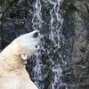 旭山動物園_ホッキョクグマ