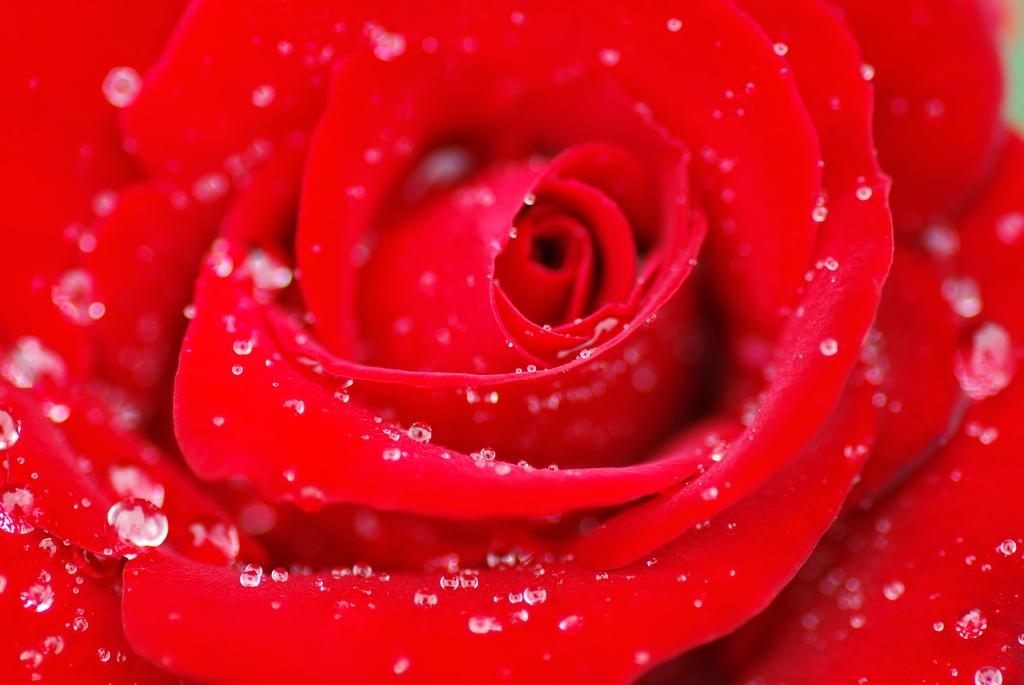 薔薇のラメ