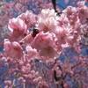 2006_0423榴ヶ岡公園の桜0015