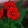 赤い花みつけた