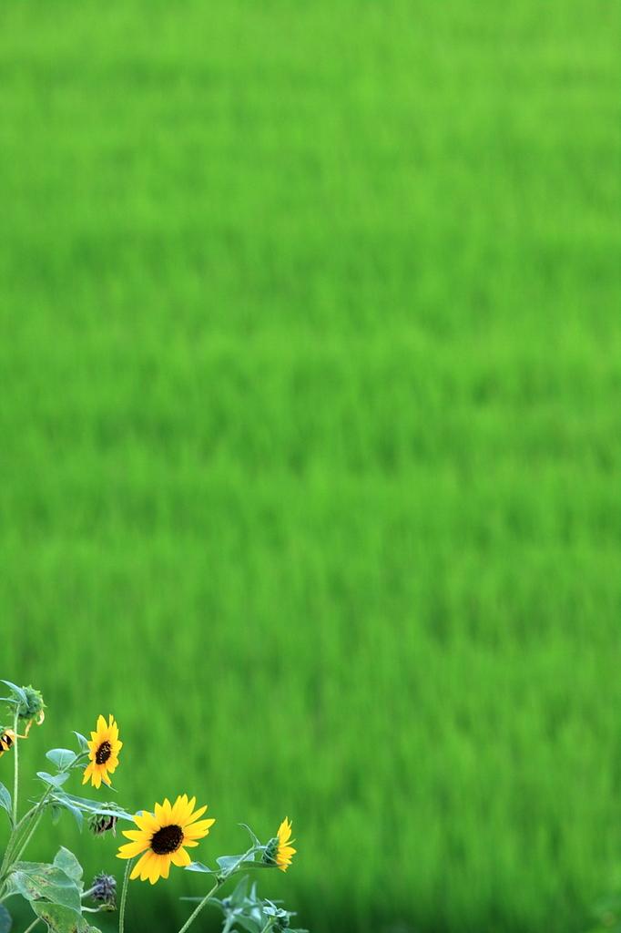 青田と太陽