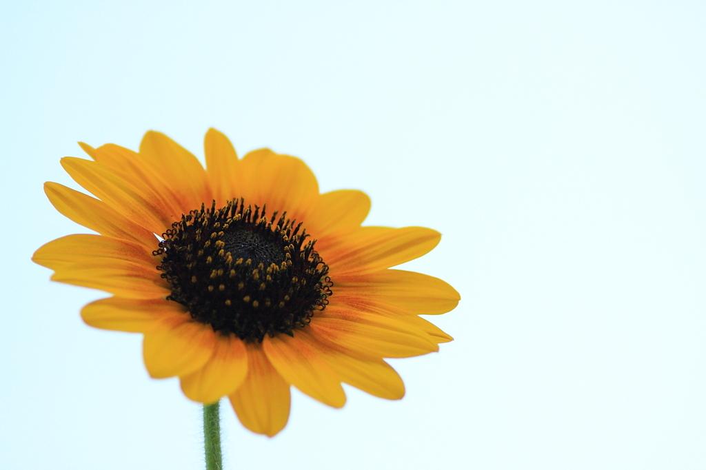 おぼろの花