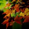 夜に溶ける紅葉