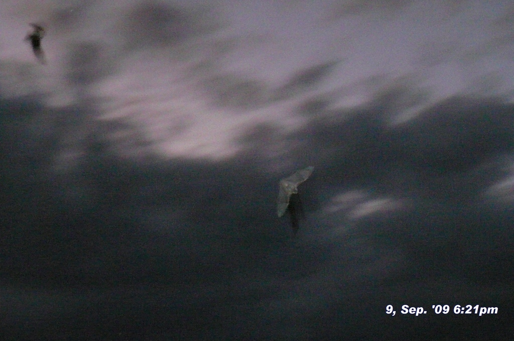 切り取り拡大版 コウモリ、蝙蝠 090909-182140(1)