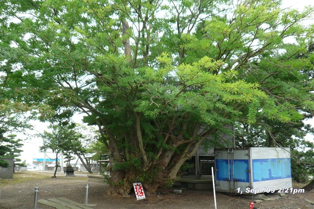 北場の神社、裏から。樹齢何百年。