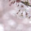 桜・さくら・sakura