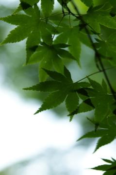 キラキラ新緑