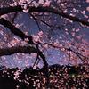 千鳥ヶ淵ー夜桜